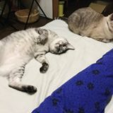 ニンゲンのそばでリラックスしているサバトラ猫とシャムトラ猫