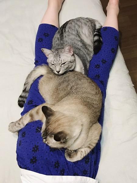ニンゲンの下半身の上に乗っかっているサバトラ猫とシャムトラ猫