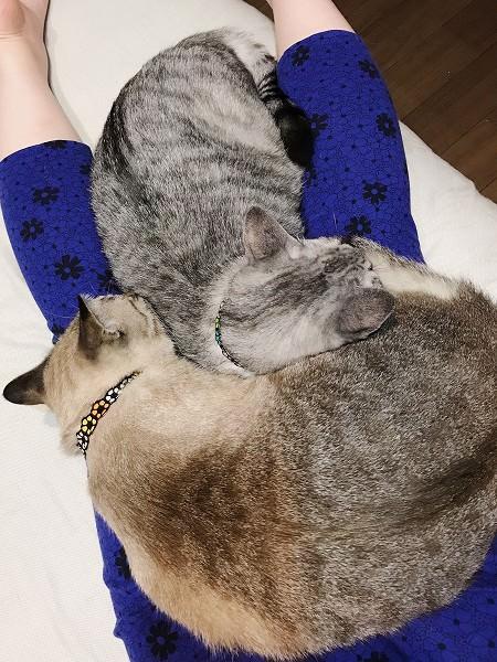 ニンゲンのお尻の上で寝る猫たち