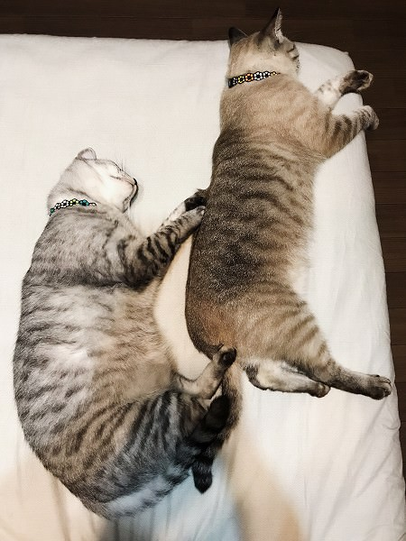 同じポーズで横になっている2匹の猫