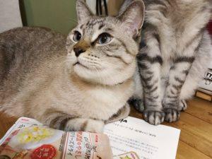 通知書の上で香箱を組んでいるシャムトラ猫