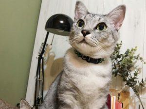 キョトンとした顔のサバトラ猫