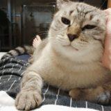 飼い主のお腹の上でナデナデされているシャムトラ猫