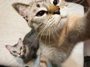 立ち上がっておやつに手を伸ばすシャムトラ猫