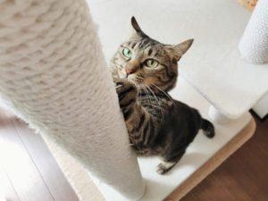 キャットタワーで爪を研いでいるキジトラ猫