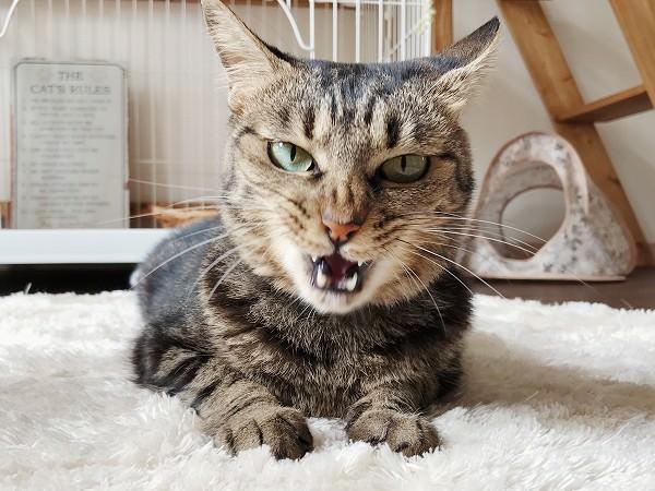 ヤクザみたいな顔してるキジトラ猫
