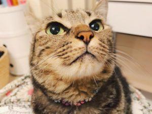 ごきげん顔のキジトラ猫