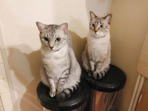 ゴミ箱のフタの上にお行儀よく座っているサバトラ猫とシャムトラ猫