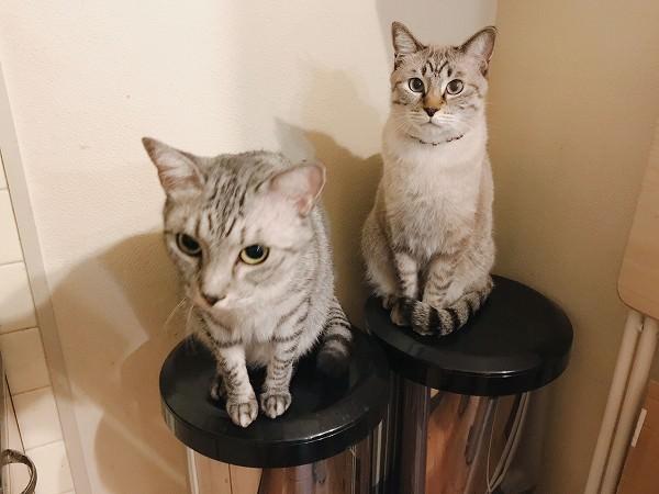 身を乗り出すサバトラ猫