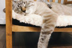 前足をダランと下げて寝ているシャムトラ猫