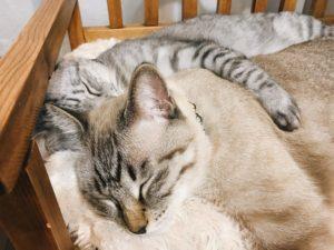 シャムトラ猫に抱きついて寝ているサバトラ猫