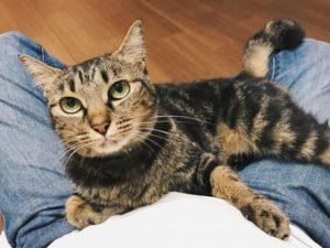 飼い主の膝の上に乗っているキジトラ猫