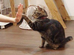ニンゲンとハイタッチをするキジトラ猫