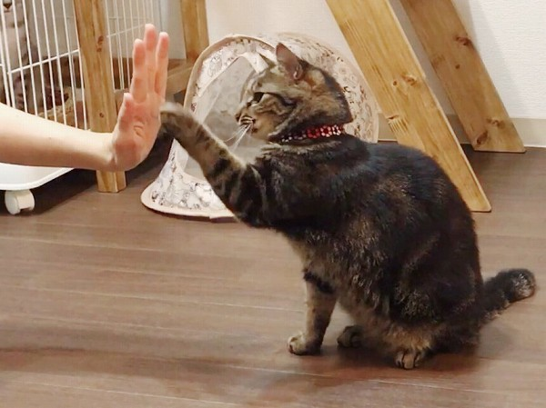 猫にハイタッチを教える方法