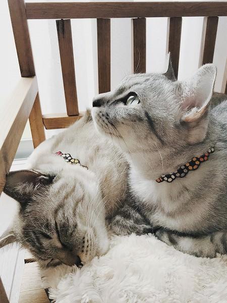 上を見上げるサバトラ猫の横顔
