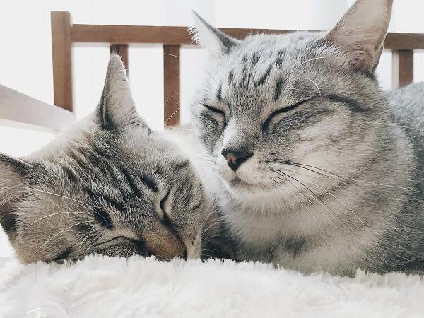 仲良く身を寄せ合うサバトラ猫とシャムトラ猫