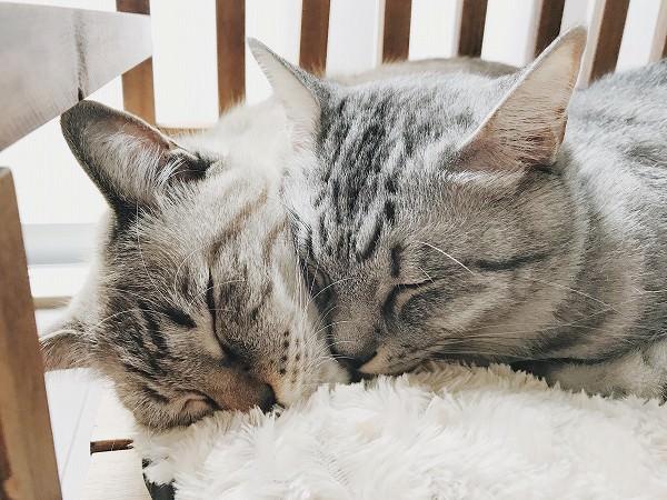 顔をくっつけ合って眠る2匹の猫