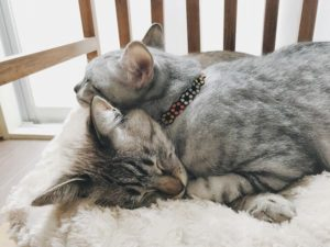 シャムトラ猫の体の上に顔を乗せているサバトラ猫