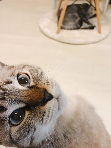 椅子の下に移動したサバトラ猫と、こちらを見ているシャムトラ猫の顔アップ