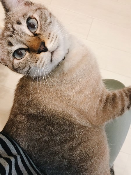 膝の上に乗ってこっちを見ているシャムトラ猫