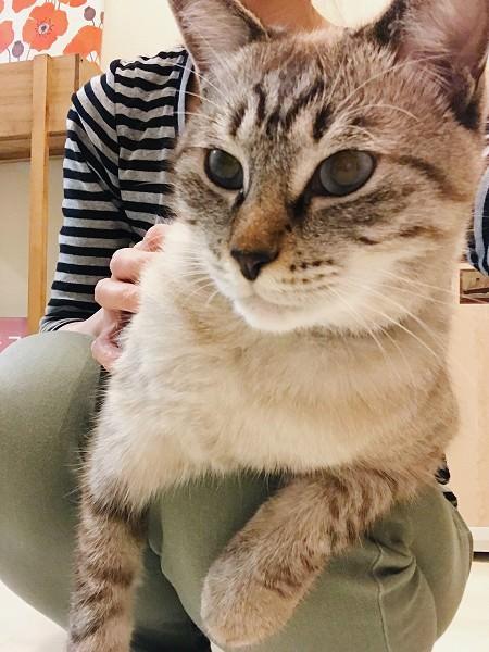 膝の上でリラックスしているシャムトラ猫