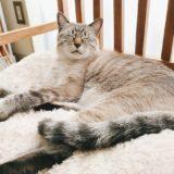 ふかふかベッドに横たわっているシャムトラ猫