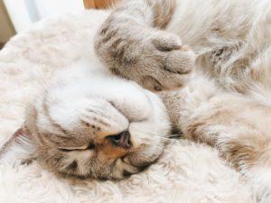 シャムトラ猫の寝顔