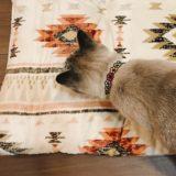 新しい長座布団のにおいを嗅いでいるシャムトラ猫の後頭部