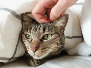 布団に潜っているキジトラ猫の頭を撫でる