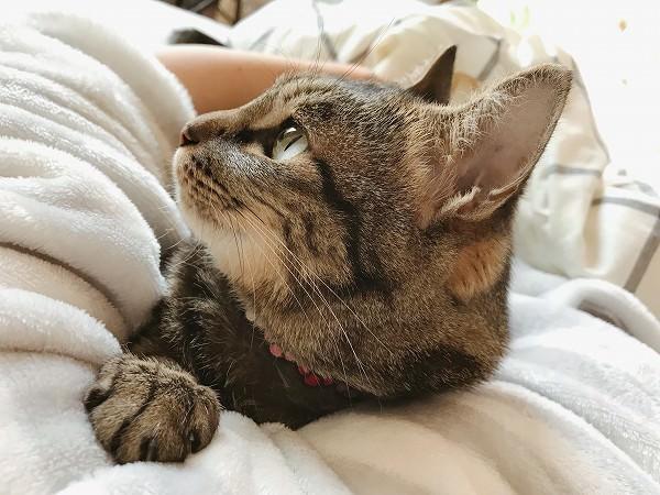 ニンゲンの脇に挟まってくつろいでるキジトラ猫