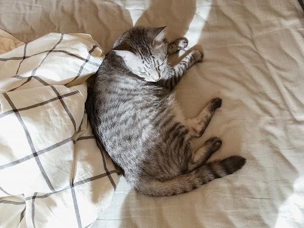 ベッドに横たわっているサバトラ猫