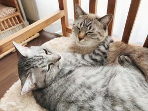 いっしょのベッドでくつろいでいる仲良し猫兄弟