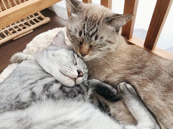 シャムトラ猫に体を預けて寝てしまうサバトラ猫