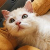 クリーム色の子猫