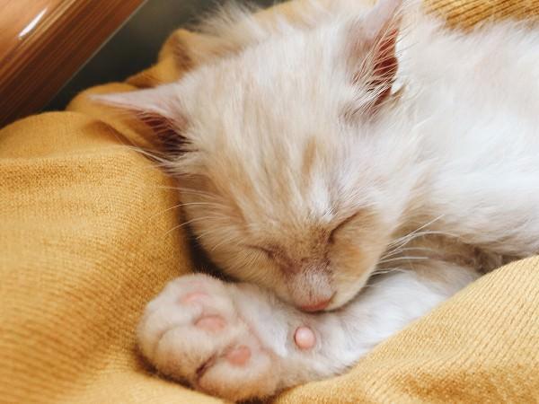 子猫の寝顔のアップ