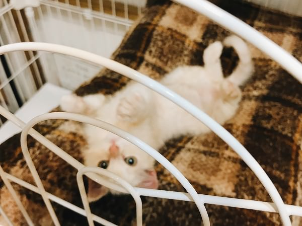 ふかふかベッドの上で仰向けになっている子猫