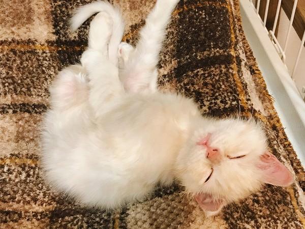 無防備に眠る子猫