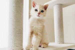 キャットタワーの上にいるクリーム色の子猫