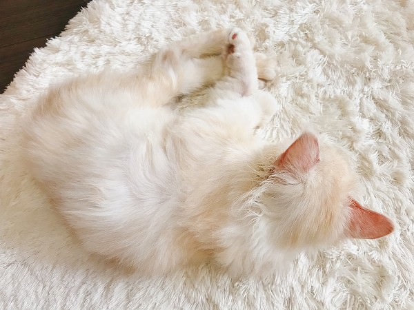 白いラグと毛色が同化している子猫