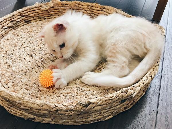 ボールのおもちゃで遊ぶ子猫