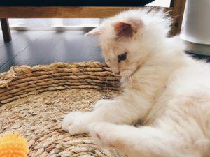 毛がフワフワの子猫