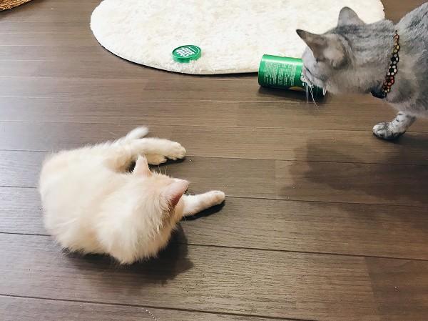 寝っ転がってる子猫と、横から出てきたサバトラ猫