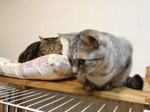 ケージの上から下を見下ろしているサバトラ猫