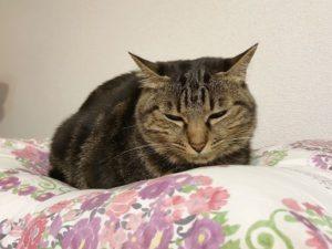 むっすり顔のキジトラ猫