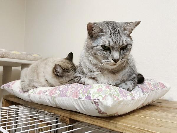 仏頂面したサバトラ猫