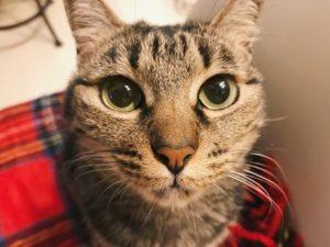 キジトラ猫の顔面アップ