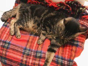 電気毛布の上で毛づくろいしているキジトラ猫