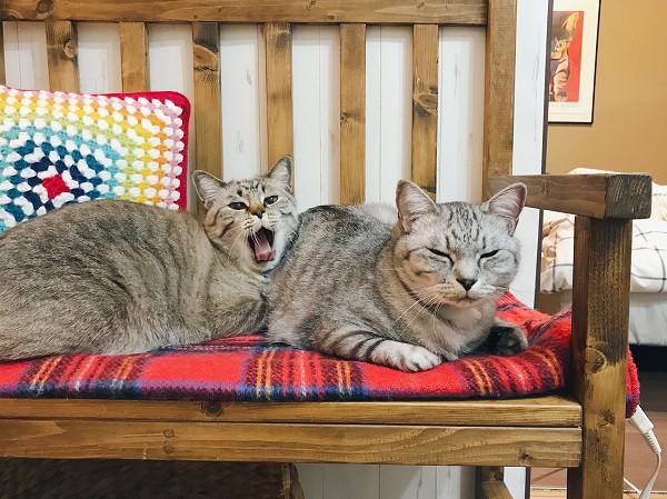あくび途中のシャムトラ猫