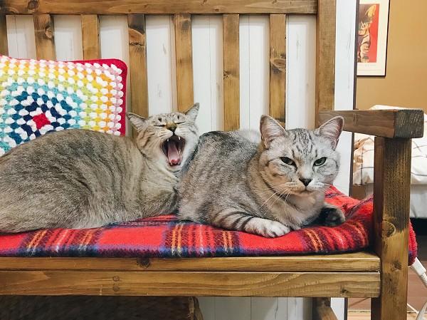 大きく口を開けてあくびしているシャムトラ猫と目つきの悪いサバトラ猫