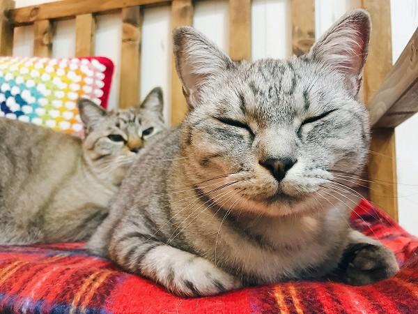 サバトラ猫の顔アップ